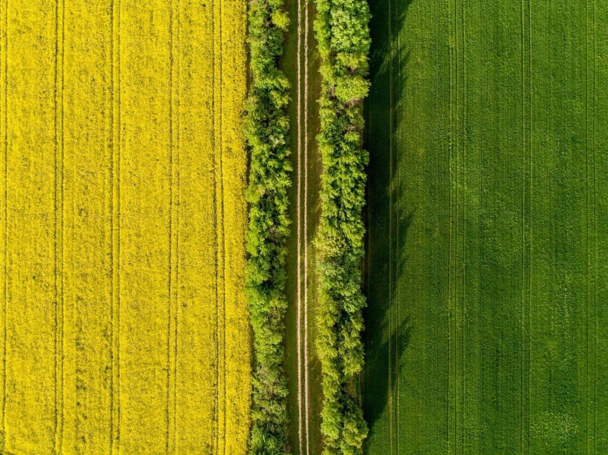 Evo kako ptice vide polja uljane repice u cvatu