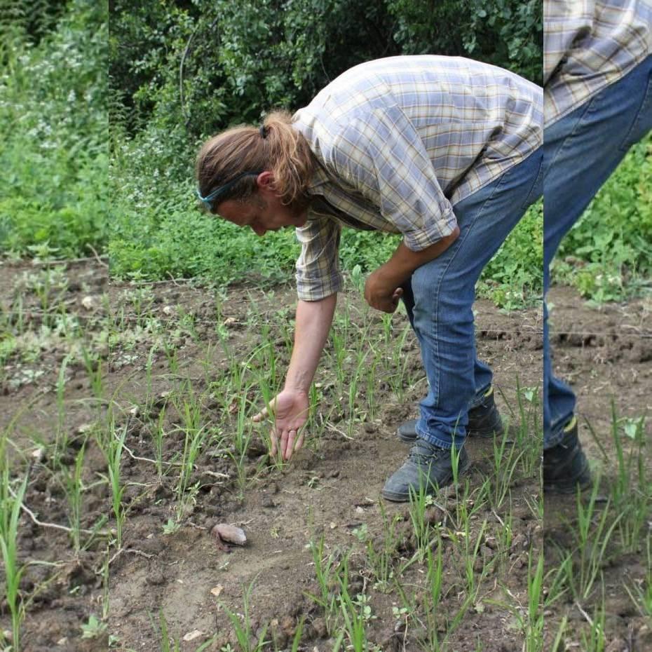 U Skenderovcima raste riža?!