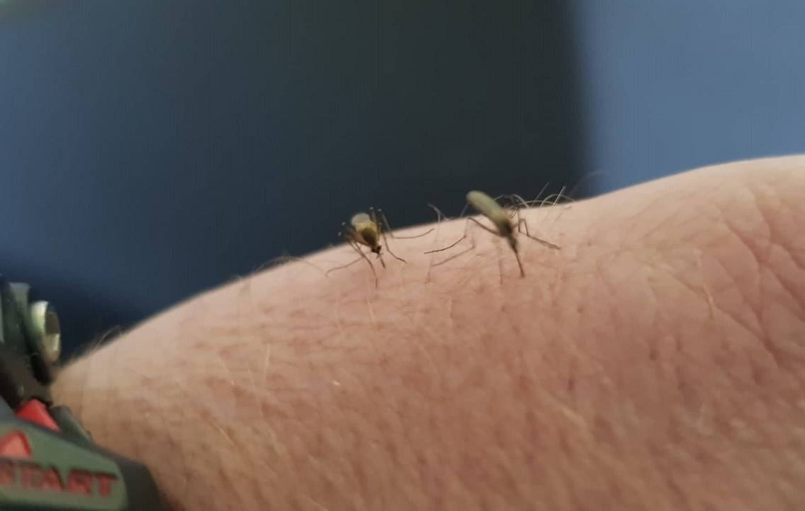 Osječki komarci poslani na analizu otpornosti u Grčku