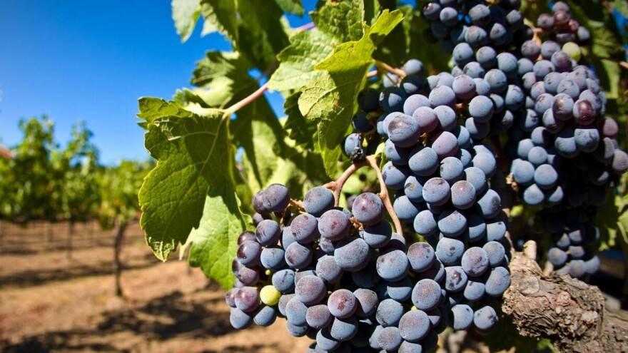 Pročitajte kako se pripremiti za nadolazeću berbu grožda i proizvodnju vina