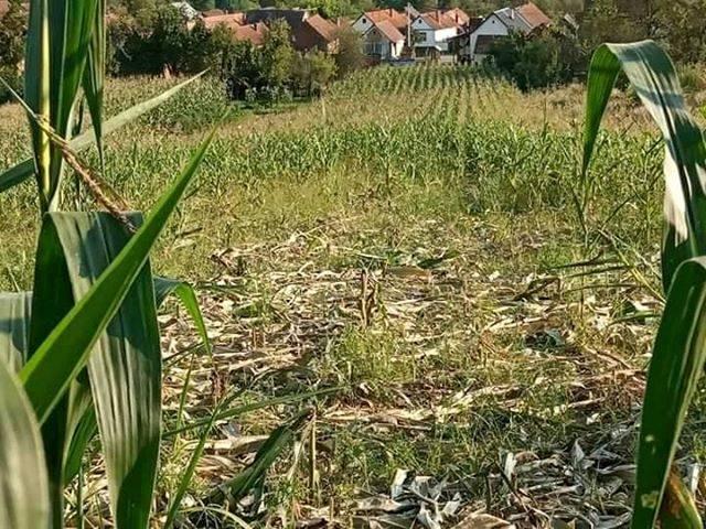 ʺDivlje svinje kod Požeške Koprivnice rade štetu u kukuruzima i napadaju ljudeʺ