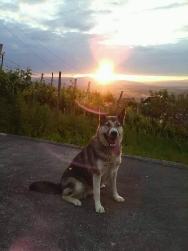 Na području Požege nestao pas po imenu Penny