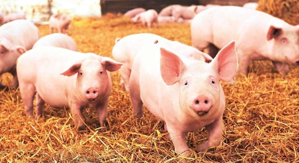 NOVI PRAVILNIK: Od 1. travnja obavezno je prijaviti klanje svinje