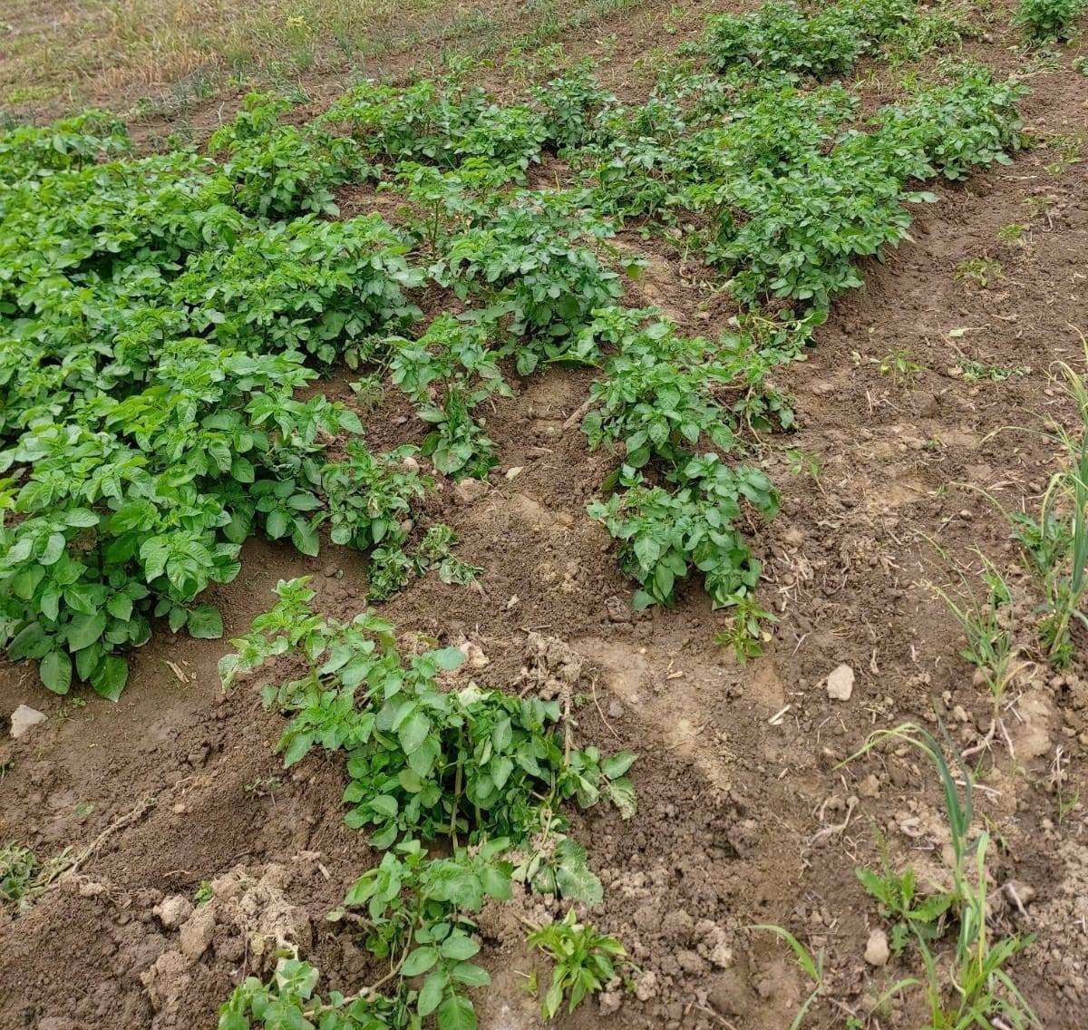 Osim kukuruza divlje svinje uništavaju i posađeni krumpir u Bzenici