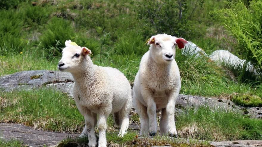 PRIJAVE U TIJEKU: Za pomoći proizvođačima tovne junadi, tovnih svinja i janjadi za klanje osigurano devet milijuna kuna