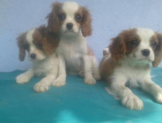 Ova tri slatka šteneta su odlutala, vlasnik nudi nagradu od 500 € za korisne informacije