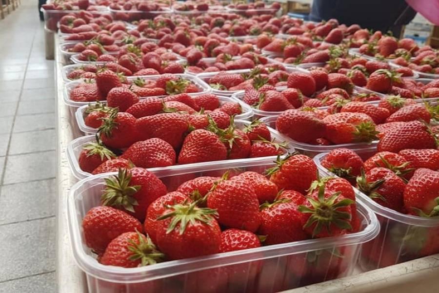 KAD NIJE UNIŠTILA KORONA, NETKO ĆE DRUGI: Jednom Slavoncu ukrali čak 100 kilograma jagoda