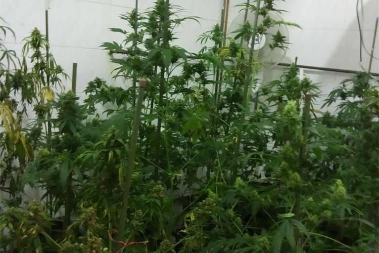 Policija u slavonskom selu pronašla nezakonitu tvornicu marihuane