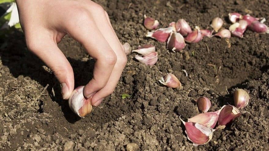 Prije jesenske sadnje dezinficirajte luk pepelom ili slanom otopinom