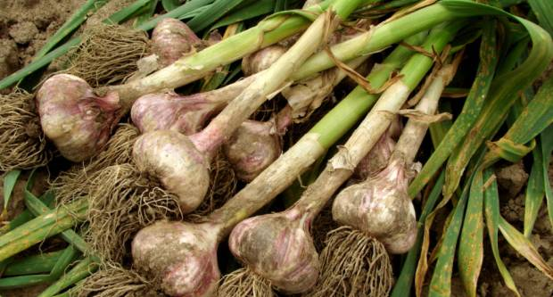Jača potražnja za češnjakom: Izvoz kineskog veći za 38%, u SAD ostali praznih skladišta
