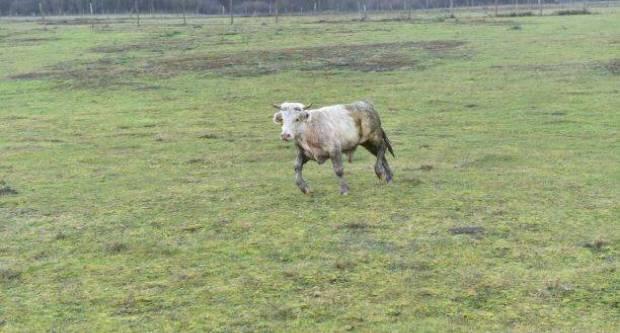 Odbjegli bik Joza iz Slatine uhvaćen