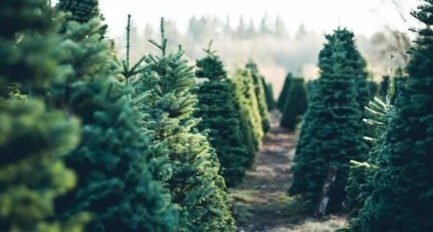 HGK pozvao građane da kupuju hrvatska božićna drvca