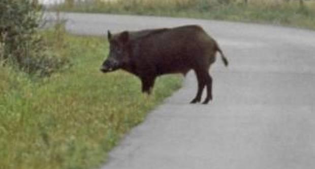 Policija traži nepoznatog počinitelja koji je ubio divlju svinju