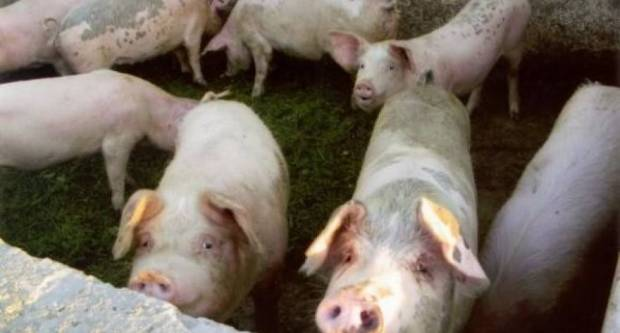 POLICIJA TRAGA ZA POČINITELJE: Netko se počastio se za Uskrs, iz svinjca ukrali svinje