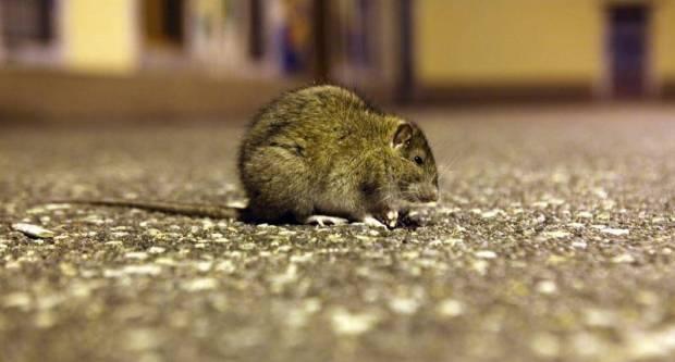 Oprez! U Hrvatskoj se pojavila opaka bolest - mišja groznica