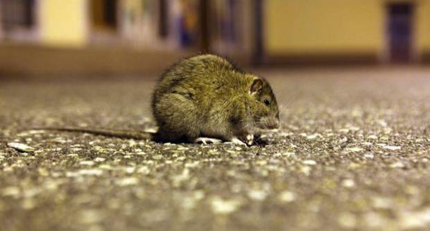 OPREZ: U našoj se županiji pojavila bolest - mišja groznica