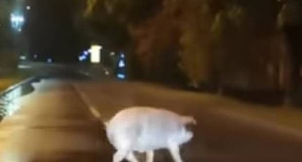 VIDEO: Svinja u noćnoj šetnji ulicama Broda