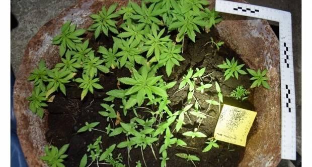 62-godišnjak posadio više od 100 kanabis biljaka