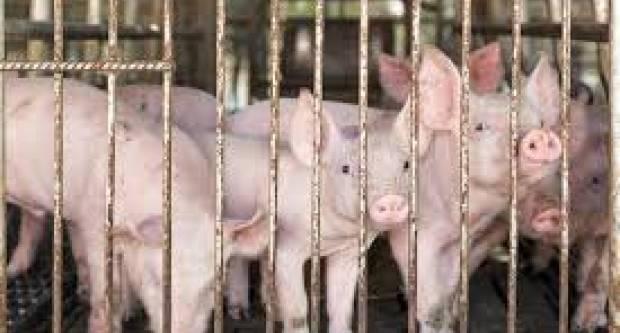 Od 2027. nema više uzgoja životinja u kavezima? EP traži zakonodavni okvir