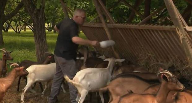 Ovaj se bračni par preselio iz grada na selo pod Papukom gdje proizvode najfiniji, potpuno prirodni kozji sir