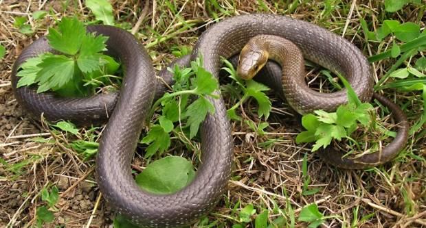 Najezda zmija u Slavoniji. ʺ Velika je preko metar sigurnoʺ
