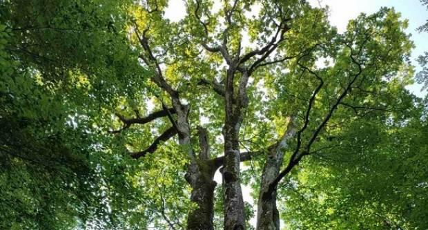 Papučki stari hrast kandidat je za Hrvatsko stablo 2021.godine- glasajte za da pobjedi!