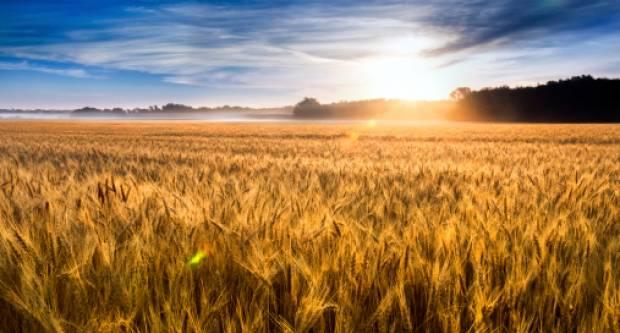 Urod pšenice u Republici Hrvatskoj u 2021. godini