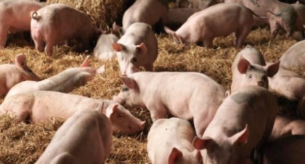 Visok rizik pojave afričke svinjske kuge u Hrvatskoj