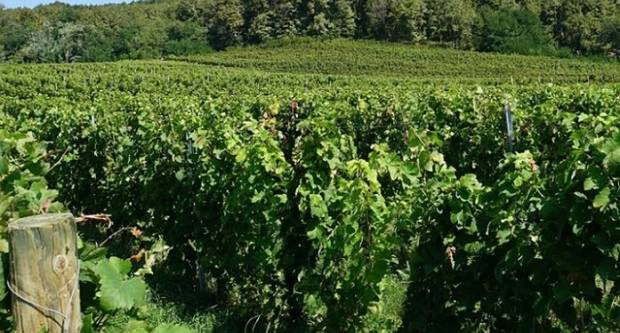 Pogled na papučke vinograde