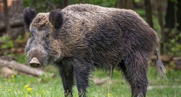 Ministarstvo poljoprivrede naredilo pokolj 20.000 divljih svinja