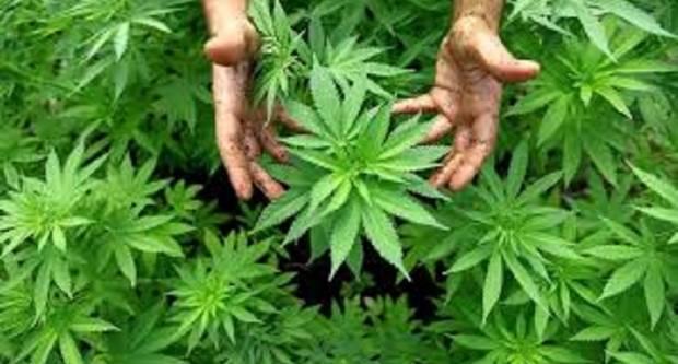 Evo tko sve u Hrvatskoj može legalno uzgajati konoplju