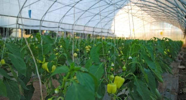 Zasjenjivanjem plastenika spriječite ožegotine na plodovima biljaka