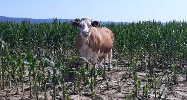 Kod Ovčara odbjegla krava, traži se pastir...