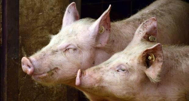 Nova pravila za svinjokolju zbog prijetnje Afričke svinjske kuge