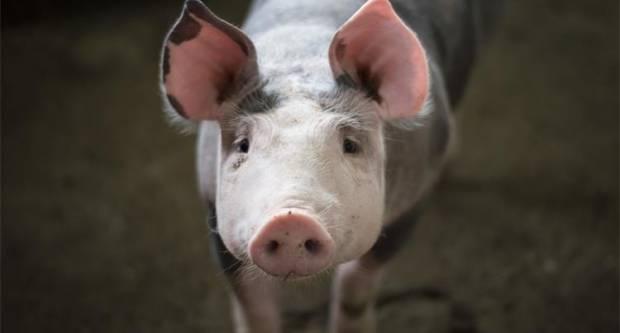 Nova pravila za svinjokolju! Novčane nagrade za dojavu o lokaciji uginule divlje svinje