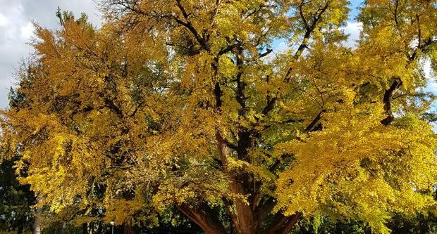 »Zaljubljeni ginko« iz Daruvara u konkurenciji za Europsko stablo godine 2020.