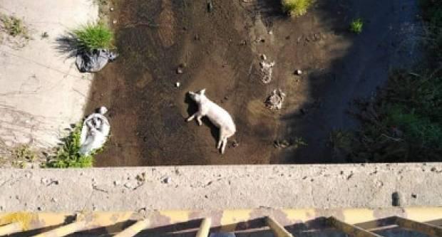 Općina Oriovac ne želi ukloniti leš svinje iz kanala, a evo i zašto