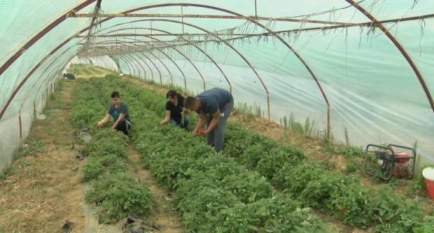 Požeška obitelj Miler je jedini proizvođač divljih jagoda u Hrvatskoj