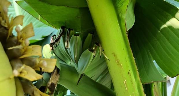 VJEROVALI ILI NE: U Slavonskom Brodu brati ćemo banane