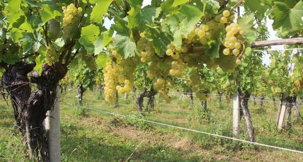 FOTO: Press berba u vinogradima vinarije Galić