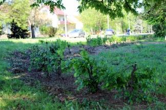 Sređuje se živica gradskog parka u Zvonimirovoj ulici