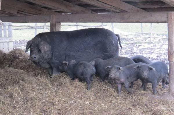 najbolja crna svinja biseks pušenje